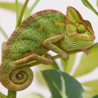 Head Hunters (Chameleon)